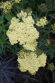 Achillea millefolium 'Sunny Seduction':  Yarrow Attracts Butterflies and Hummingbirds Deer Resistant This Yarrow has clusters of soft butter-yellow flowers, with gray-green foliage.
