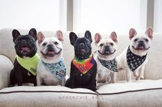 Bell's Beauties French Bulldogs