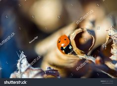 Find Closeup On Ladybug Sitting On Dry stock images in HD and millions of other royalty-free stock photos, illustrations and vectors in the Shutterstock collection. Thousands of new, high-quality pictures added every day. Ladybug, Close Up, Insects, Photo Editing, Royalty Free Stock Photos, Illustration, Pictures, Image, Editing Photos
