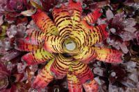 Seabreeze Nursery- Ft. Myers, FL landscape bromeliads, wholesale plants
