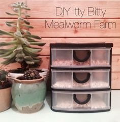 Since I have to buy mealworm every week at the pet store for the quails, I… Meal Worms Raising, Raising Quail, Raising Chickens, Raising Mealworms, Chicken Garden, Chicken Feed, Chicken Runs, Chicken Coops, Reptiles