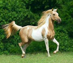 Pintaban mare. A 99% Arabian with all the Arabian traits but exhibiting tobiano patterning - which pure Arabians do not carry. photo: Mark Barrett.