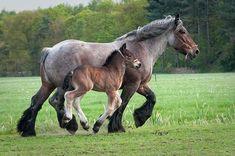 15 Breathtaking Images Of Draft Horses Rare Horses, Big Horses, Horse Love, Show Horses, Black Horses, All The Pretty Horses, Beautiful Horses, Animals Beautiful, Brabant Horse