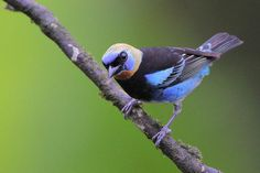 Golden-hooted Tanager