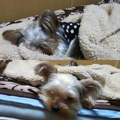 ふたりともねむねむ(。-ω-)zzz  #yuki#kai#ヨーキー#ヨークシャテリア#ヨークシャーテリア#愛犬#犬#親バカ#家族#多頭飼い#わんこ#犬バカ部#Yorkie#YorkshireTerrier#dog#love#family#広島#呉#地元#hiroshima#kure#犬服