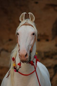 Here he is again, I wish I knew more about this horse, and if there was semen available! Just adore him. Horse Love, Horse Girl, Different Horse Breeds, Marwari Horses, Horse Sketch, Fireworks Show, Horse Photos, Horse Photography, Wild Horses