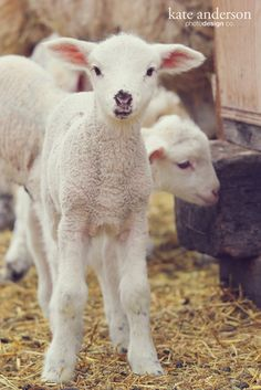 Lovely Little Lambs | Kate Anderson l Photo & Design
