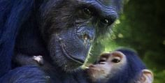 Jane Goodall's Wild Chimpanzees - Introduction | Nature | PBS