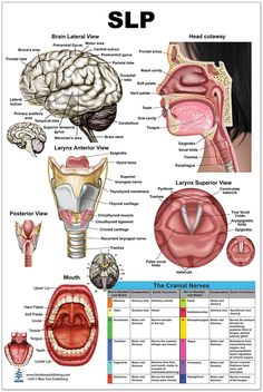 The SLP Large Poster illustrates anatomy of speech language pathology, printed on glossy plastic in bright, easy-to-see colors. x available in several sizes. Speech Therapy Posters, Speech Pathology, Speech Language Pathology, Speech And Language, Speech Therapy Organization, Speech And Hearing, Human Anatomy And Physiology, Speech Therapy Activities, Auditory Processing