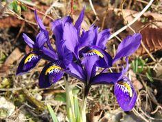 Kleine+Netziris Iris, Plants, Mesh, Pictures, Plant, Bearded Iris, Planets, Irises