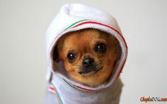 Chien gai toy terrier photo