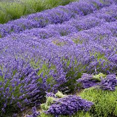 With One Of The Strongest Fragrance Among Lavenders Grosso Is A Popular French Hybrid With Gray Green Evergreen Leaves Plants Lavender Plant Container Plants