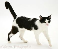Black-and-white cat walking photo Ragamuffin Cat, Black And White Google, Black White, White Background Images, Cat Pose, Cat Photography, White Cats, Cat Walk, Animal Sculptures