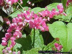 For full sun in hot Florida, Coral Vine is it! Keep pruning tools or chainsaw handy, it quickly gets out of control. Antigonon leptopus. -mimi