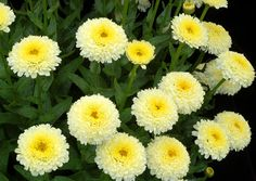 """Daisy, Shasta Leucanthemum 'Luna' Showy, pom-poms of double flowers rest atop a dense, upright, mound of foliage. Flowers bloom yellow, then gradually change to a two-toned yellow and finally finish white. Flowers stay yellow for two weeks or longer. (19"""" x 19"""")"""