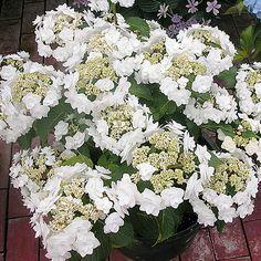 Hydrangea Macrophylla, Hortensia Hydrangea, Hydrangea Garden, Hydrangea Flower, White Flower Farm, White Flowers, White Hydrangeas, Hydrangea Varieties, Courtyards