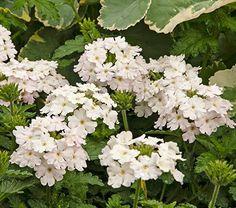 Annual; Verbena EnduraScape™ White Blush, this is an Annual for zone~4, 12in tall