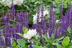 Salvia, miscanthus and peonies combine warm and cool colors.