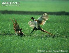 Male pheasants fighting