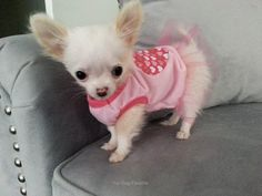 Little girl chihuahua