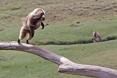 male gelada baboon of Ethiopian highlands displaying dominance