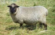 Coopworth Livestock