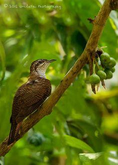 Banded Bay Cuckoo (Cacomantis sonneratii) | Flickr - Photo Sharing!