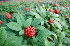 Účinky tejto rastliny prekonávajú všetky ostatné byliny