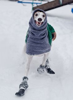 Smokey by teenytinyturkey, via Flickr - Italian greyhounds in the snow are so silly