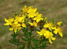 John's wort (Hypericum) is known for its antidepressant effects and is useful in treating alcohol withdrawal symptoms. The plant prevents the desire for alcohol, reduces the cravings for ethanol and prevents a relapse in recovering alcoholics. Alcohol Withdrawal Symptoms, Improve Metabolism, Medicinal Herbs, Diabetes, Herbalism, Relapse, Tea, Cravings, Nature