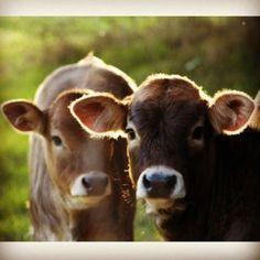 Brown Swiss calves