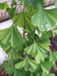 Variegated Ginko biloba 'Majestic Butterfly' foliage ...striking!