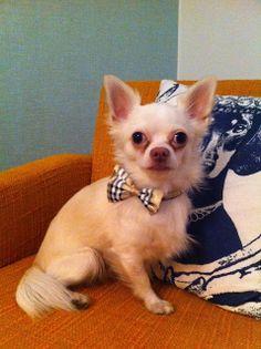 My chihuahua Martin at home Chihuahua, Corgi, Animals, Corgis, Animales, Animaux, Animal, Chihuahua Dogs, Animais