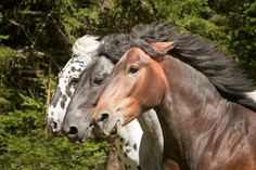 Noriker horses