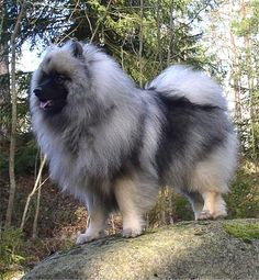 Keeshond- my parents used to own one named Misty.