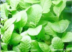 Sementes de Tabaco – Tennessee Burley  Planta já germinada