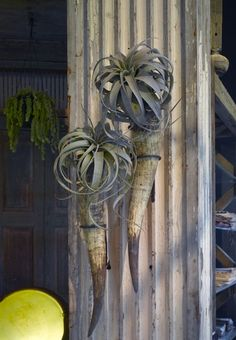airplant Xerographica, natural cow horn, hammered metal bracket