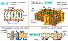 Membrane Structure, Cell Membrane, Cell Biology, High School Science, Med Student, Biochemistry, Study Tips, Book Art, Medicine