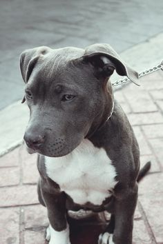 Grey Blue American Pit Bull Terrier cute animals eyes dogs grey bull pit bullie breed #Pitbull #Pittie