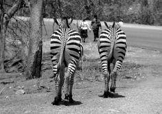 Zebras in Matusadona NP, Zimbabwe