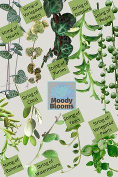 Hanging Succulents, Hanging Plants, Leaf Identification, Indoor Grow Lights, Plant Hooks, Ferns Garden, Cactus Plante, All About Plants, Banana Plants