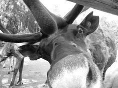 I took this picture when I travelled in the Arctic Circle - a very curious reindeer indeed!