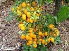 СОРТА ЖЕЛТЫХ ПОМИДОРОВ    Необычного окраса, вкуса и запаха, помидоры желтого цвета всегда находят своих поклонников. Кстати, сортов этих великолепных овощей немало. Мы же расскажем о лучших из них.    Сорт «Хурма»    Такое название желтые помидоры получили благодаря внешнему сходству с ягодами. На кустах сорта «Хурма», достигающих в высоту до 1,5 м, уже с июля висят мясистые (150-200 г) и сладкие плоды ярко-оранжевого цвета. Урожайность сорта составляет 4-5 кг с куста.    Сорт «Трюфель»…