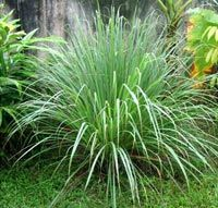 Citronella grass is a natural mosquito repellent.