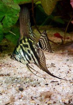 #aquariumfreshwaterfishunderwater