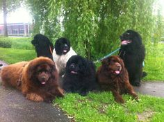 newfies newfoundland family best dog ever Cute Puppies, Cute Dogs, Dogs And Puppies, Doggies, Giant Dogs, Big Dogs, Animals And Pets, Cute Animals, Terra Nova