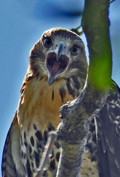 Redtailed Hawk. Virginia USA - by Kathy Russell
