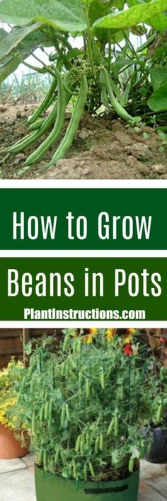 # to Grow Green Beans in a Pot Learn how to grow beans in pots with this easy to guide.Learn how to grow beans in pots with this easy to guide. Indoor Vegetable Gardening, Home Vegetable Garden, Tomato Garden, Organic Gardening, Growing Green Beans, Growing Greens, Growing Herbs, Easy Garden, Edible Garden