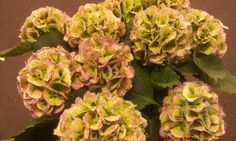 #Hydrangea #Hortensia #Lollypop Classic; Available at www.barendsen.nl
