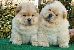 💞🐻🐼🐻💞 💞🐻🐼🐻💞 #animals #animal #pets #pet #dogsofinstagram #dog #puppy #instapuppy #puppies #woof #fluffy #paws #model #fashion #собака #filhote #anjing #baby #hound #teddybear #love #babyanimals #nature #panda  #chowchow #chowchowpuppy #강아지 #犬 #개  _____________________________  ADMiN : @SePeHR.HaNiFi ADMiN 2 : @DeLViN_CHoW  TaG YouR FRieNDs :👇👥👇